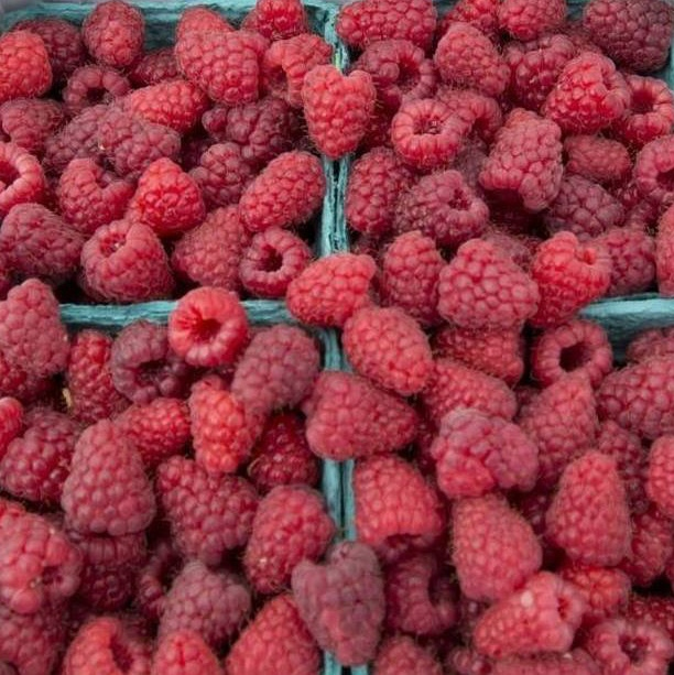 Whatcom Raspberry Growers Still Hoping for Warmer Weather