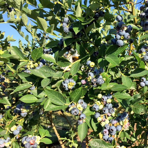 Blueberry growers unite over request for investigation